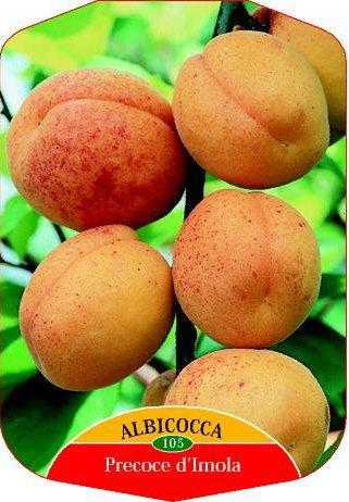 pianta-alberello-da-frutto-albero-di-albicocca-precoce-dimola