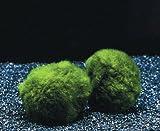 Wasserflora Jumbo Mooskugel Größe XXL ab 8 cm