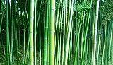 Seedlings India Bamboo Seeds