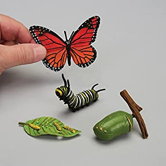 Life cycle of butterfly model - photo#13