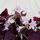 オキザリス トリアングラリス紫の舞3.5号ポット 3株セット