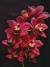 Cymbidium Black Silk orchid seedling, a dark, dark red