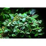 Bucephalandra Green Wavy Pot Rare Live Aquarium Plants
