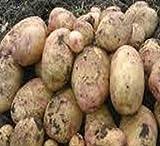 Sycamore Trading Seed Potatoes CARA x 10 Tubers
