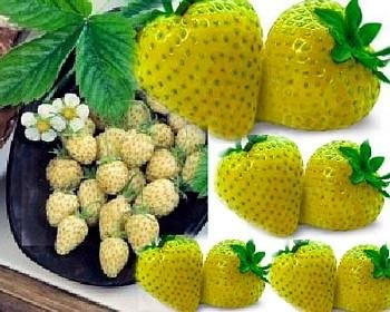 Buy Yellow Wonder Alpine Strawberry 10 Seeds &#8211; SALE* &#8211; FREE SHIPPING ON ADDITIONAL HIRTS SEEDS
