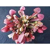 10 CARNIVOROUS PARROT PITCHER PLANT Sarracenia Psittacina Flower Seeds