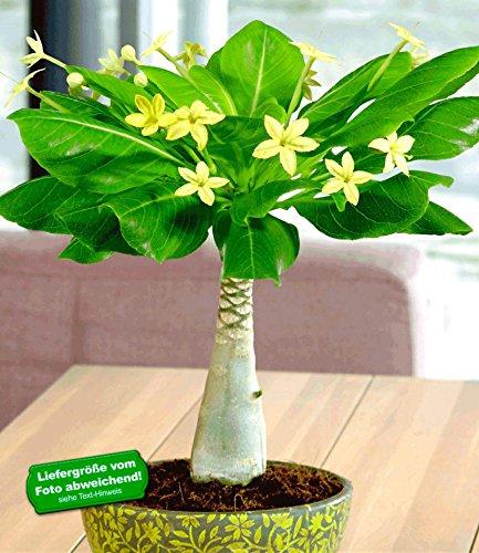baldur-garten-hawaii-palme-30-40-cm-hoch-1-pflanze-brighamia-insignis