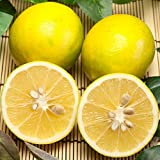 マイヤーレモン 無農薬 A品 3kg (佐賀県 佐藤農場)