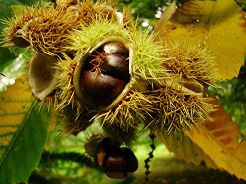 sweet-chestnut-castanea-sativa-fruit-tree-seedling-plant-autumn-colours-edible-nuts