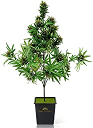 Cannabis Plant with beautiful Buds,Artificial Marijuana silk Plant with Real Natural Look(42 Inches High),interior plant for High desing.Imagine your friend face when he see/gets this Awesome plant :)