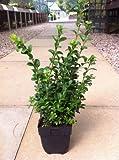 25 x Buxus Sempervirens 25-35cm in 1 Litre pot (a265)
