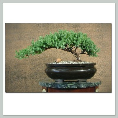 Buy Bonsai Tree Juniper From Joebonsai's Famous Constellation Series