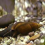 カワニナ/50匹/水質浄化 /ホタルの幼虫や大型フグのエサ等に