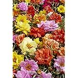 PORTULACA F2 KARIBA MIX FLOWER SEEDS BY KRAFT SEEDS [PACK OF 2]