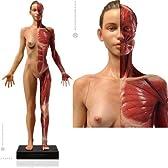 アナトミー 人体模型 女性 VER.3 フルカラー仕上げ
