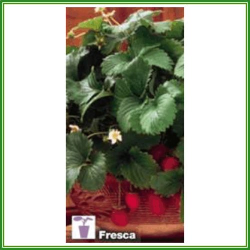 ajp-strawberry-compact-type-fresca-seed