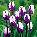 'Blueberry Ripple' Triumph Tulip 8 Bulbs - Exclusive! - 12/+ cm Bulbs