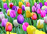 Mixed Pastel Tulips- 50 Perennial Tulip Bulbs, Mixed Tulips Flower bulbs