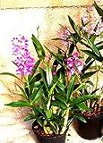 1 blühfähige Orchidee der Sorte: Dendrobium kingianaum