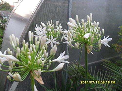 agapanthus-africanus-amore-fiore-10-semi-freschi-bianco