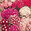 Sweet William Auricula Eyed Large Flowered Mixed - 200 Seeds