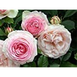 Strauchrose Eden Rose ® - (Hochstamm (~110cm) im 8l Topf)
