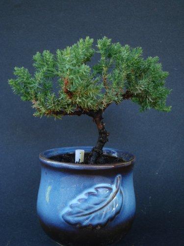 2 Plants of Fukien Tea and Juniper Live Bonsai Plant Indoor Bonsai with Pot