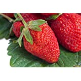 HEIRLOOM NON GMO Surecrop Strawberry 50 seeds