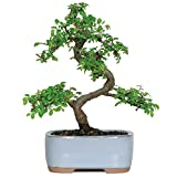 Brussels CT9005CE Chinese Elm Bonsai