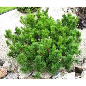 Swiss Mountain Pine) Easy Bonsai : Pine Trees : Patio, Lawn & Garden