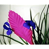 Hawaiian Pink Quill Plant - Exotic & Easy House Plant - Tillandsia