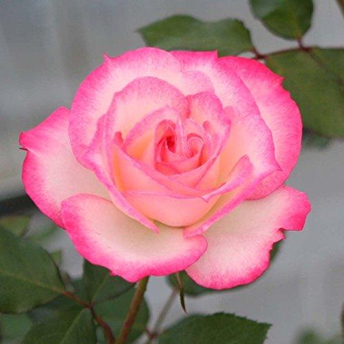 バラ苗 ニコール 国産新苗4号ポリ鉢 フロリバンダ(FL) 四季咲き中輪 複色系