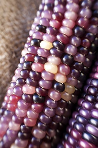 Amethyst Dream Purple Glass Gem Cherokee Indian Corn Heirloom Premium Seed Packet + More (Indian Purple Corn compare prices)