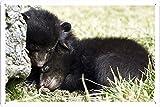 ベアカブススリープグリズリーを隠す恐怖26080のティンサイン 金属看板 ポスター / Tin Sign Metal Poster of Bear Cubs Sleep Grizzly Hide Fear 26080