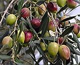 """Arbequina Olive Tree - Tree of Peace - Olea europaea - 3.5"""" POT"""