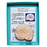 あなたも!化石博士シリーズ 紙箱標本 マダカスカル島のアンモナイト アンモナイトオルソス