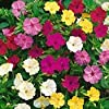 *Seeds and Things Four O'Clocks Flower Seed Mix Pink Red Yellow White 99 Seeds