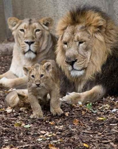 Animal Wall Decals Family Of Lion - 18 Inches X 14 Inches - Peel And Stick Removable Graphic front-797616