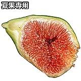 国華園 果樹苗 イチジク ザ・キング 1株