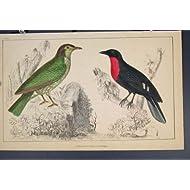 Copie C1860 de Couleur d'Oiseaux d'Oiseau de Corneille de Fruit d'Araponga Vieille