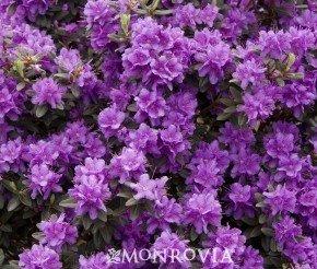 "Rhododendron ""Ramapo"" Five Gallon Plant"