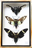 REAL 3 MIXS CICADA INSECT TAXIDERMY SET IN BOXES DISPLAY FOR COLLECTIBLES