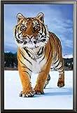 Raubkatzen – Poster – Tiger im Schnee + Wechselrahmen der Marke Shinsuke® Maxi aus edlem Aluminium (ALU) Profil: 30mm schwarz
