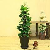 観葉植物:ペペロミア*ヘゴ板仕立て ブラック陶器鉢(受皿付き) シュロ皮付き
