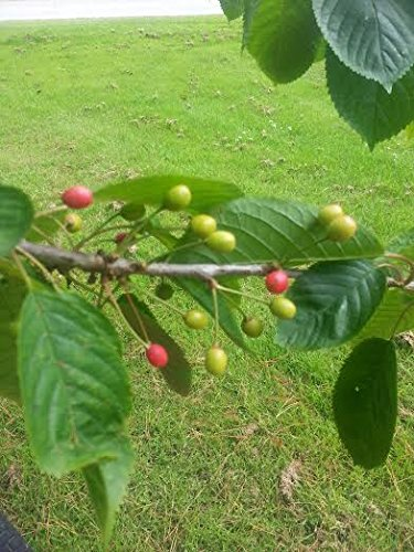 10 Wild Cherry Trees 4-5ft Stunning Blossom, Edible Cherries & Wild Bird Food