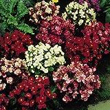 Suttons Seeds 105980 Begonia F1 Devon Gems Mix Supaseed
