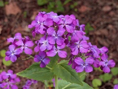 Seeds and Things Money Plant 20 + Seeds-silver Dollar Plant-honesty-annual