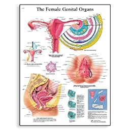 3B Scientific VR1532UU Glossy Paper The Female Genital Organs Anatomical Chart, Poster Size 20\
