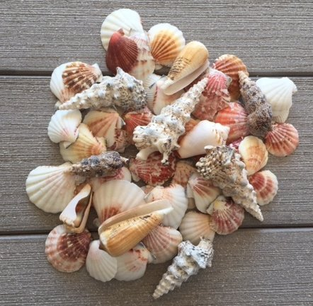 peach sea shells scroll - photo #27
