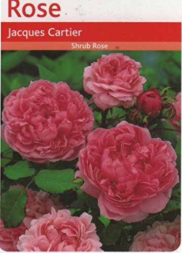 jacques-cartier-shrub-rose-scented